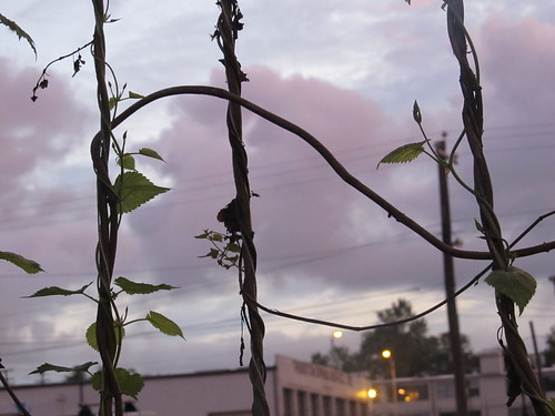 Hop bines at sunset (04)