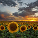 Sunflower Field - Hudson, Colorado