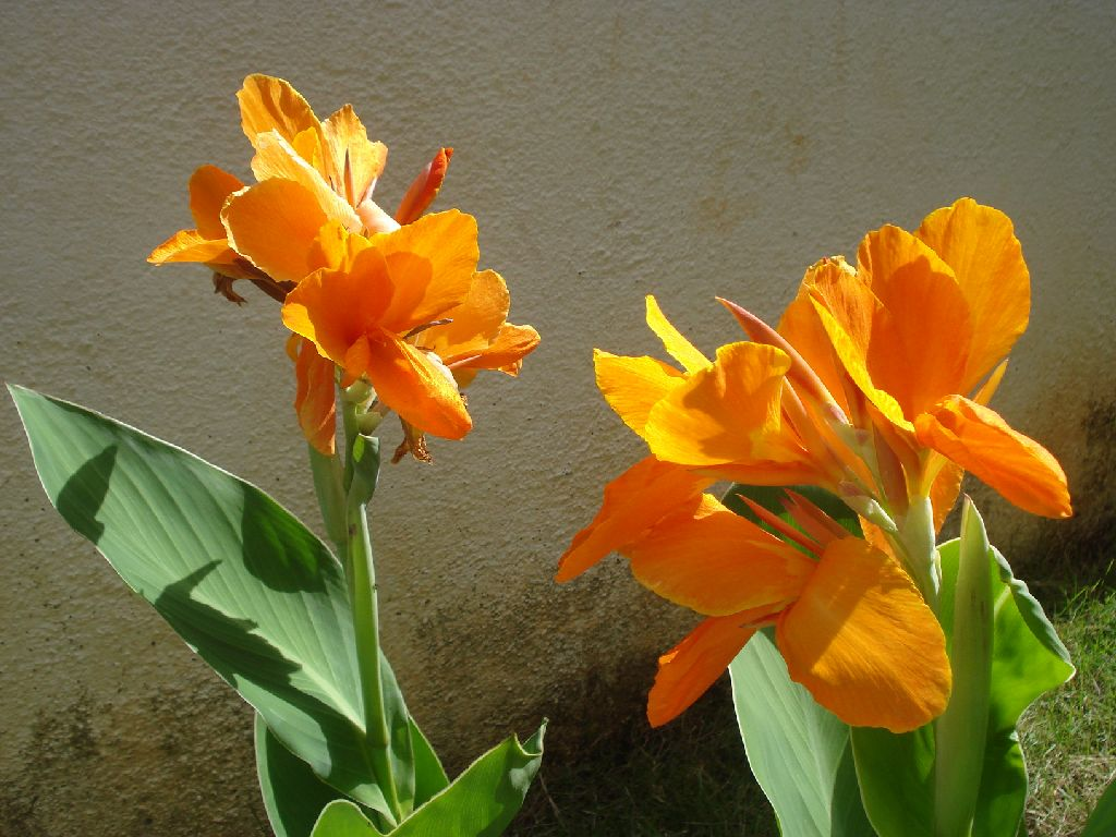 Types of lily flowers canna flower canna lily or canna flower izmirmasajfo Gallery