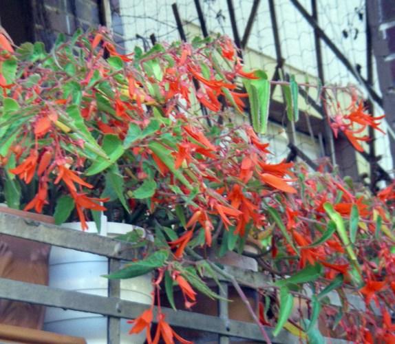 Begonia boliviensis 6212874359_4ce6c8456c_o