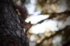 animal, branch, squirrel, rodent, fauna, close-up, wildlife,