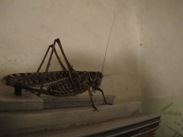World's largest grasshopper in our scary soviet style hotel room