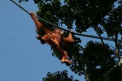 Orang Utan auf dem Weg zur Fuetterung