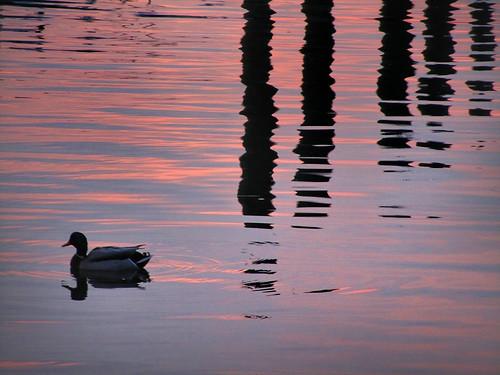 desktop sunset wallpaper water sunrise duck newjersey twilight dusk background nj ducks floating mallard monmouthcounty float waterfowl desktopwallpaper mallards desktopbackground raritanbay
