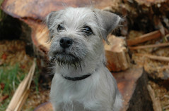 dog breed, animal, puppy, dog, pet, norfolk terrier, mammal, schnauzer, dandie dinmont terrier, west highland white terrier, miniature schnauzer, terrier,