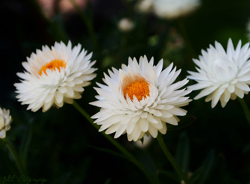 White Strawflowers
