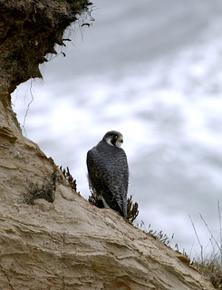 Peregrine Falcon | by USFWS Pacific