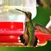 Hummingbird by bettylynne
