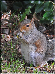 FEMALE GREY SQUIRREL