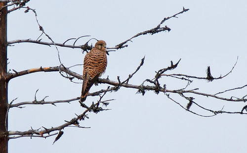 Common Kestrel - Tornfalk (Falco tinnunculus)