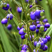 Dianella - Photo (c) Anne Roberts, some rights reserved (CC BY-NC-SA)