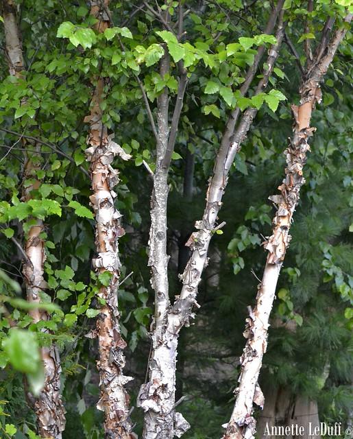 Paper Birch Trees | Flickr - Photo Sharing!