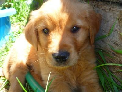 Dark Red Golden Retriever Puppies