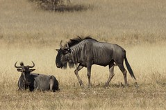 adventure(0.0), gemsbok(0.0), herd(0.0), hartebeest(0.0), common eland(0.0), grazing(0.0), kudu(0.0), mustang horse(0.0), animal(1.0), prairie(1.0), antelope(1.0), wildebeest(1.0), plain(1.0), mammal(1.0), horn(1.0), fauna(1.0), savanna(1.0), grassland(1.0), safari(1.0), wildlife(1.0),