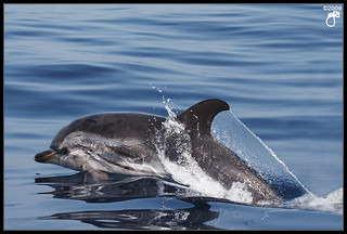Striped Dolphin III