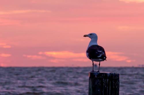 morning seagulls bird water animal sunrise dawn bay pier gull maryland cpc bayside chesapeake calvert chesapeakebay calvertcounty pinkchesapeakebaychesapeakebeachdawnmorningsunrise
