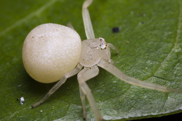 White spider that looks like a crab
