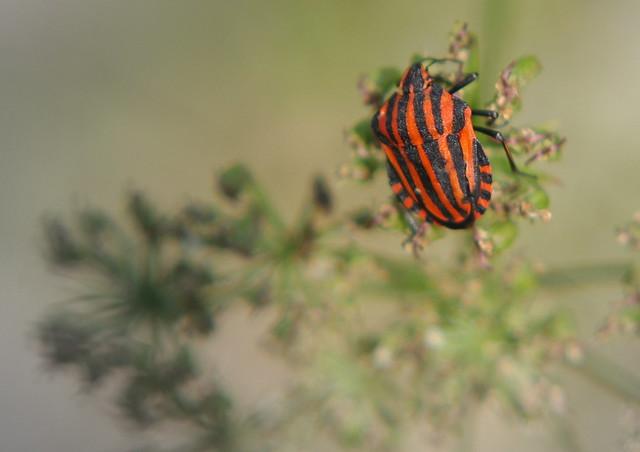 Cimice striata rosso nera flickr photo sharing for Puntura cimice