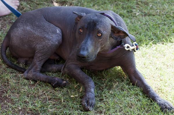 Hairless Dog Xoloitzcu...