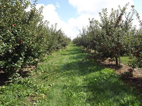 Apple Orchard 2011 042