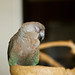 Dainty 7 year old Red-bellied parrot
