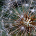 124/365 [365 Project] - Dandelion by Stefano.Minella