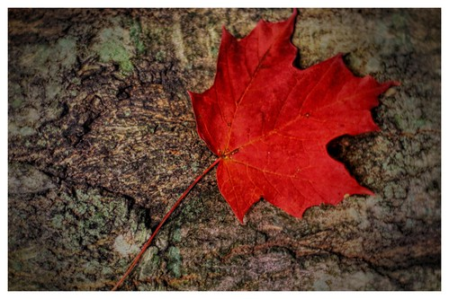autumn tree fall leaf maple fallcolor hdr d90 photowalk2011