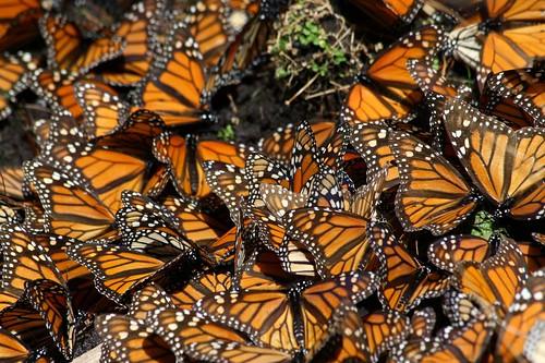 帝王蝶。(來源:Pablo Leautaud)