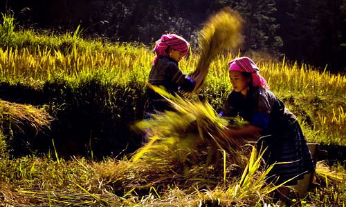 Đập lúa/Rice threshing