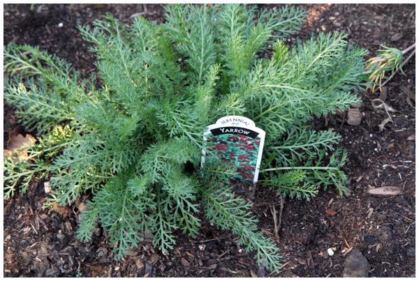 Newly planted Yarrow