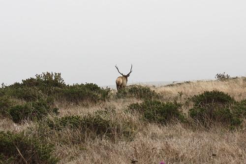 Elk, Point Reyes National Seashore