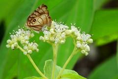 Owl Eyed Butterfly & Wildflowers
