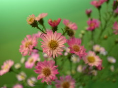 annual plant, prairie, flower, plant, marguerite daisy, wildflower, petal,
