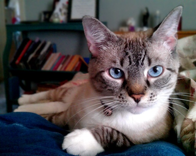 Siamese Cat Rescue Center Bethlehem Pa