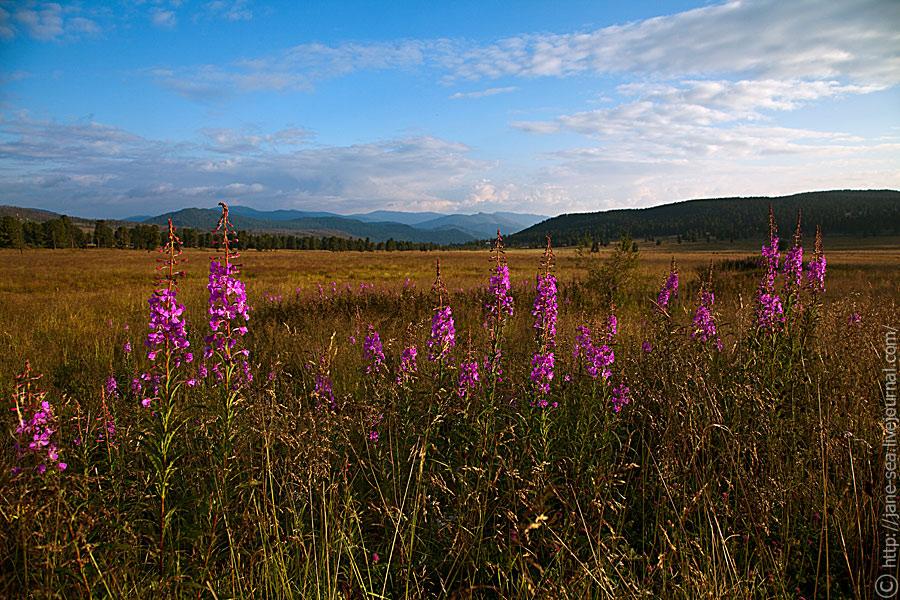 Утро на Семинском перевале, Иван-Чай / Morning on Pass Seminsky
