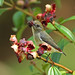 Scarlet Backed Flowerpecker (F) ^^^