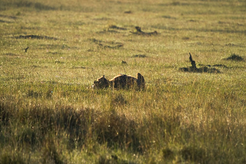 tiere kenya ken nakuru ort hyäne raubtiere ereignis reihenaufnahme lakeviewestate bildart kenyazanzibar2007 hyã¤ne