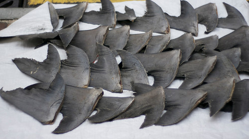 Fresh shark fins drying on sidewalk | by nicwn