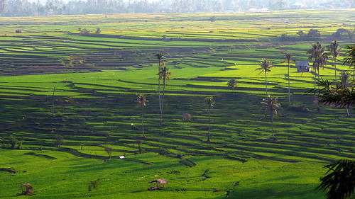voyage panorama color nature field indonesia landscape rice coconut culture vert panoramic asie tradition padi agriculture paysage campagne indonesie couleur riz terasse padang riziere padifield sumatrabarat minangkerbau batusangkar cultureenterrasse celedena ouestsumatra