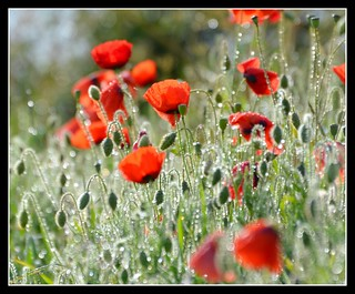 Sparkling Poppy morning......