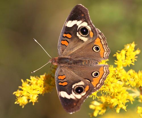 butterfly goldenrod northcarolina picnik commonbuckeye richmondcounty tfi junoniacoenia thinfilminterference frequencywaves
