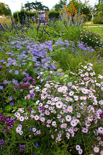 Asters & Salvia