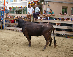 rodeo(0.0), western riding(0.0), equestrian sport(0.0), fair(0.0), bullfighting(0.0), animal sports(1.0), cattle-like mammal(1.0), bull(1.0), tradition(1.0), sports(1.0), cattle(1.0), traditional sport(1.0),