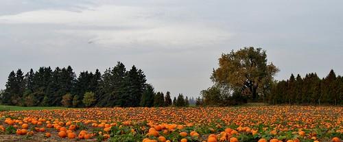 ontario canada pumpkin