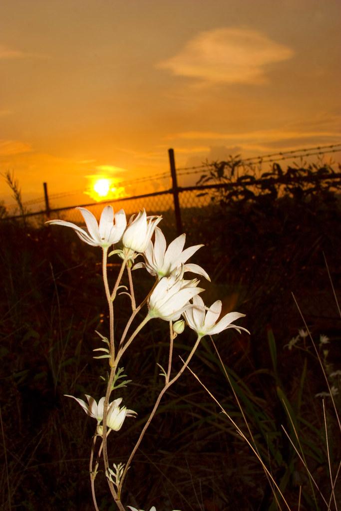Flannel Flower Sunset