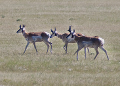 Three Antelope