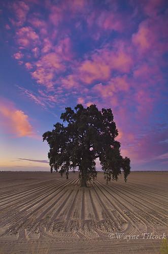 california pink blue sunset sky brown tree lines clouds canon oak ag 5d davis valleyoak yolo gradfilter singhray waynetilcock