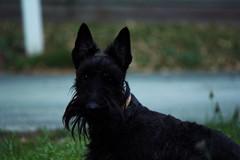 cairn terrier(0.0), australian terrier(0.0), dog breed(1.0), animal(1.0), dog(1.0), pet(1.0), vulnerable native breeds(1.0), schnauzer(1.0), miniature schnauzer(1.0), carnivoran(1.0), scottish terrier(1.0), terrier(1.0),
