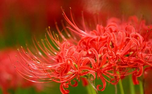 Manjushage - Spider lily