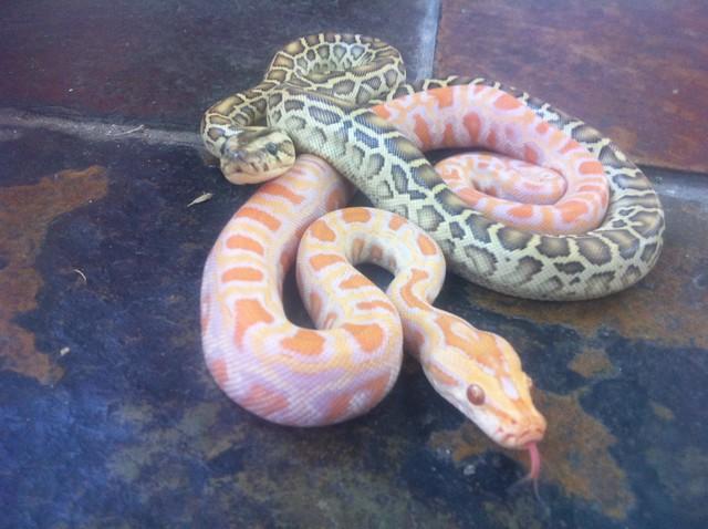 albino granite burmese python wwwimgkidcom the image
